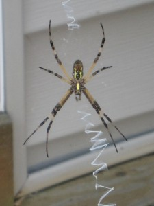 Female Black and Yellow Garden Spider (top of torso)