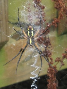Female Black and Yellow Garden Spider (bottom of torso)
